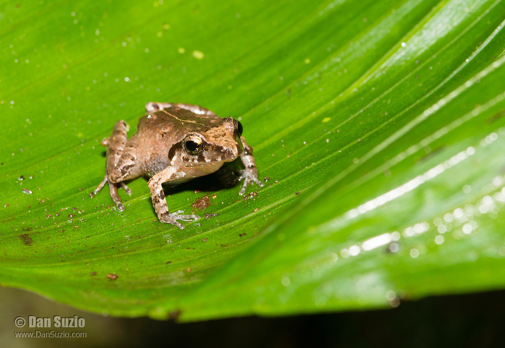 Bransford's Litterfrog or Robber Frog, Craugastor bransfordii, near Arenal Volcano National Park, La Fortuna, Costa Rica