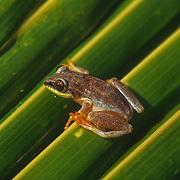 Madagascar Frogs