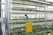 Harvesting fresh produce Bok Choy at Sky Greens<br /><br />Sky Greens is a pioneering adventure in vertyical farming, one of the first of its kind, founded by Daniel Chea.<br /><br />As written in their website:<br /><br />World's first low carbon hydraulic water-driven, tropical vegetable urban vertical farm, using green urban solutions to achieve enhanced green sustainable production of safe, fresh and delicious vegetables, using minimal land, water and energy resource<br /><br />Locally grown vegetables in Singapore currently constitute only 7% of local consumption. Demand for local vegetables exceeds supply. Singaporeans trust the quality, freshness and safety of local vegetables, grown using good agricultural practice under the supervision of the Agri-Food & Veterinary Authority of Singapore.<br /> <br /> The A-Go-Gro vertical systems which are 9m in height (3 storeys), housed in protected-outdoor green houses, allow tropical leafy vegetables to be grown all year round at significantly higher yields (than traditional growing methods) that are safe, of high quality, fresh and delicious.<br /><br />Green urban technologies are used on the farm, which is easy and environmentally friendly to operate and maintain. Patented low carbon hydraulic water-driven green technology. Soil-mix, fertilizers and water are controlled. Modular A-frame structures for easy installation & maintenance. Outdoor green houses, which use abundant sunlight in the tropics throughout the year. Green technology is used to achieve the 3R ( reduce, reuse and recycle)