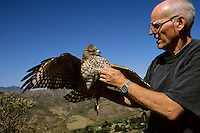 Buzz Hall with a red-shouldered hawk (Bueto lineatus).  Marin Headlands, California.  Oct 2002.