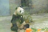 The Eldest Panda Celebrates 31st Birthday