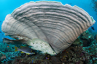 A Barramundi gets cleaned under a giant Plate Coral.<br /> <br /> Shot in Indonesia