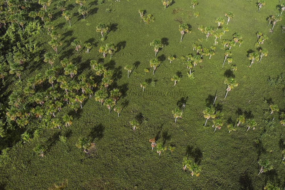 Mauritia (Moriche) Palm (Mauritia flexuosa)<br /> Savanna <br /> GUYANA<br /> South America<br /> Used for thatching