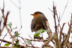 Snapped this little guy while walking the dog in the park earlier this afternoon. He was perched a bush just above head height. <br /> Fuji X-Pro 1 and XF 60mm f2.4  <br /> f2.4 at 1/480 - ISO 400<br /> <br />  13 January 2018 <br />   Copyright Paul David Drabble<br />   www.pauldaviddrabble.co.uk