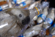 SURABAYA, INDONESIA - MAY 05: <br /> <br /> Bottled birds: How callous smugglers cram cockatoos into plastic bottles to get them through customs<br /> <br /> More than 24 critically endangered cockatoos were rescued by police after being found stuffed in water bottles for illegal trade. <br /> Smugglers crammed the Yellow-crested cockatoos into empty bottles so they could get through customs at Port of Tanjung Perak in Surabaya, Indonesia.<br /> But Indonesian Police discovered the birds, which can be sold for as much as £650 each, and cut them free so they could receive medical attention.<br /> The Yellow-crested cockatoo was listed as a critically endangered species by the International Union for the Conservation of Nature and Natural Resources in 2007.<br /> <br /> The population is at a critical low due to deforestation and poaching and recent studies suggest there may be less than 7,000 individuals remaining.<br /> More than 10,000 parrots, including Lories and Cockatoos, are caught from the wild in North Halmahera, Indonesia, each year to supply the domestic and the international illegal wildlife trade.<br /> <br /> Around 40 per cent of birds die during the illegal smuggling process. <br /> So for every 1,000 parrots caught from the wild, 400 birds died in vain, during the poaching, transportation and trade, due to poor conditions and cruel handling.<br /> <br /> Most parrots are prohibited from international commercial trade unless they are captive bred or permitted by the exporting country. <br /> Yellow-crested cockatoos also breed very slowly and lay eggs only once a year. They can produce only two eggs at a time.<br /> Illegal trapping continues in many areas including Rawa Aopa Watumohai National Park, Buton and Kadatua Islands, but has reportedly been reduced significantly on Sumba.<br /> Large-scale logging and conversion of forest to agriculture across its range has exacerbated the decline, and the use of pesticides is a further potential threat. <br /> The white birds can range in size from 12 inch to about 27inch in length and present a beautiful yellow crest