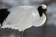 Red Crowned Crane, Grus japonensis, close up resting, feathers, Hokkaido Island, japanese, Asian, cranes, tancho, crested, white, black,  wilderness, wild, untamed, photography, ornithology, snow.