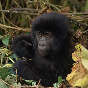 Portrait of a baby mountain gorilla in Volcanoes National Park Rwanda, Africa.