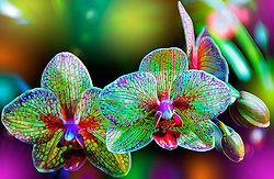 Orchidaceae are cosmopolitan, occurring in almost every habitat apart from glaciers. the world's richest concentration of orchid varieties is found in the tropics, mostly asia, south america and central america, but they are also found above the arctic circle, in southern patagonia, and even two species of nematoceras on macquarie island, close to antarctica.