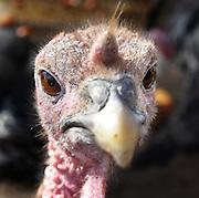 (Photo by Mara Lavitt)<br /> November 14, 2014<br /> The Ekonk Hill Turkey Farm, Moosup is owned and run by the Hermonot family. A curious heritage turkey.<br /> mara@maralavitt.com