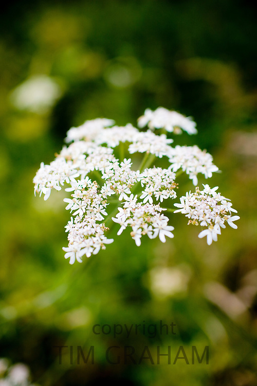 Cow Parsley, Anthriscus sylvestris, wildflower in the UK