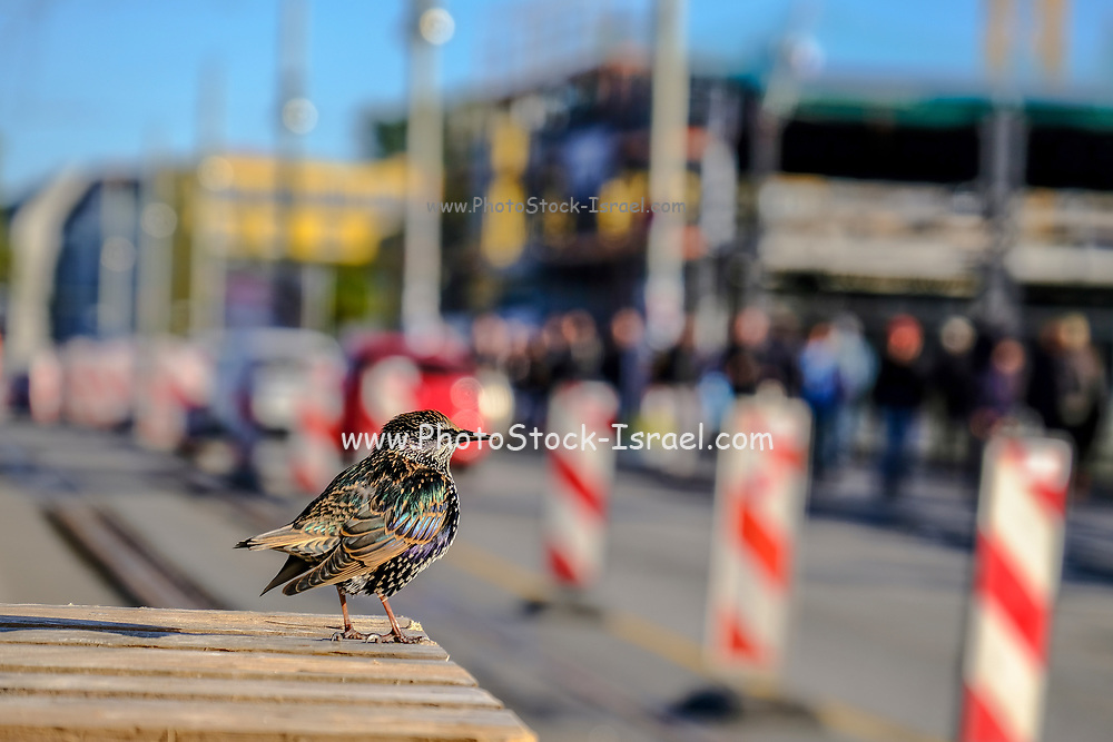 Male sparrow with out of focus urban background. Photographed in Berlin, Germany