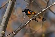 American Redstart<br /> (Setophaga ruticilla)<br />Matlock<br />Manitoba<br />Canada