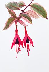 Fuchsia 'Tom West'