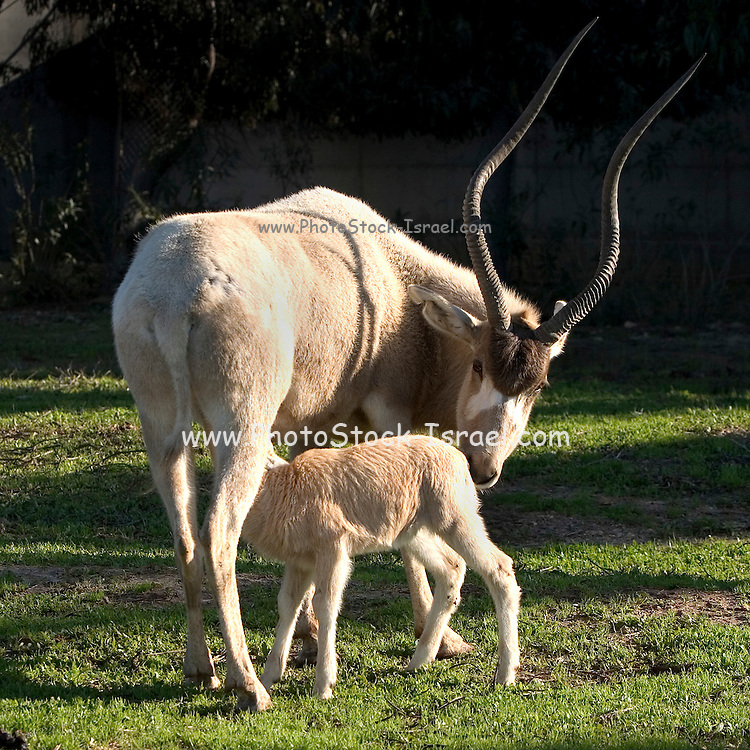 Female Addax (Addax nasomaculatus) and calf, The Addax is a critically endangered desert antelope, Extinct in the wild in Israel. Photographed at the Yotvata Hai-Bar Nature Reserve breeding and reacclimation centre. Aravah, Israel