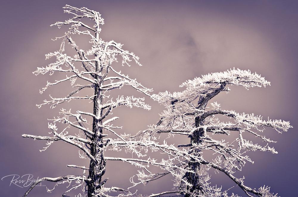 Rime ice on pine trees, San Bernardino National Forest, California USA