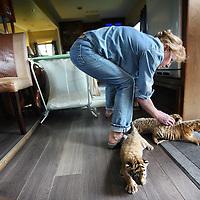Nederland, Amsterdam , 17 juli 2012..Onlangs zijn er drie jonge tijgers geboren bij Circus Renaissance. De tijgergroep van dompteur Mario Masson is van 9 naar 12 Siberische tijgers gegroeid. De moedertijger is de zevenjarige tijgerin Lola de vader is de witte tijger Defo en is ook zeven jaar oud. De moeder en de baby`s maken het goed.Op de foto de vrouw van Mario Masson met een nest iets eerder geboren tijgertjes die door de moeder zijn afgestoten waardoor ze ze zelf gedwongen moet grootbrengen..Foto:Jean-Pierre Jans