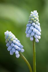 Muscari 'Jenny Robinson'. Grape hyacinth