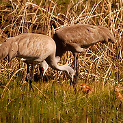 Sandhill Crane, (Grus canadensis) Adults with chicks near marsh. Spring. Yellowstone National Park.