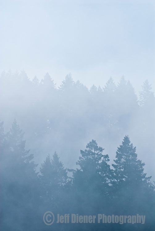 Fog drifts through the evergreen forests of the central coastal range, California.