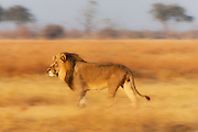 A motion-blur of a dominant male African lion (Leo Panthera) walking through tall grass in warm evening light, Chobe National Park, Botswana, Africa