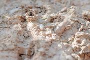 Spiny mason wasp (Odynerus spinipes) at nest burrow in clay gully. Dorset, UK.