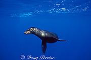Galapagos sea lion, Zalophus californianus wollebaeki, a subspecies of California sea lion, Darwin Island, Galapagos Islands, Ecuador ( Eastern Pacific )