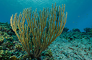 Porous Sea Rods (Pseudoplexaura spp.)<br /> BONAIRE, Netherlands Antilles, Caribbean<br /> HABITAT & DISTRIBUTION: Clear water reef environents<br /> Florida, Bahamas & Caribbean.