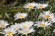 Shasta daisies in Taos, New Mexico, garden