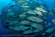 A school of Bigeye Jacks, Caranx sexfasciatus, swims along the rocky reef of Wolf Island, Galapagos Islands, Ecuador.