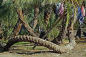 Date Palm / Phoenix dactylifera