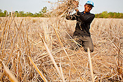 "08 APRIL 2010 - NAKHON PHANOM, THAILAND: KUMHOON, a rice farmer in Nakhon Phanom province of Thailand, collects rice straw from his paddies. He will use the straw to feed livestock and as a bed for mushrooms he plans to plant. He said he doesn't know why the Mekong River is so low and why the region is gripped by drought. He said he heard on TV and in newspapers that ""global warming"" may be to blame, but that doesn't understand what global warming is. According to people who live here, the Mekong River is at its lowest point in nearly 50 years. Many of the people who live along the river farm and fish. They claim their crops yields are greatly reduced and that many days they return from fishing with empty nets. The river is so shallow now that fisherman who used to go out in boats now work from the banks and sandbars on foot or wade into the river. In addition to low river levels the Isan region of Thailand is also in the midst of a record drought and heat wave. Farmers have been encouraged to switch from rice to less water intensive crops and to expect lower yields. Farmers here rely more on rain fall than irrigation to water their crops.       PHOTO BY JACK KURTZ"