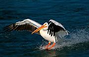 American White Pelican (Pelecanus erythrorhynchos ) lands, using its large feet as waterskis.  Alberta, Canada