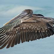 Brown pelican (Pelecanus occidentalis) in flight. Galapagos, Ecuador
