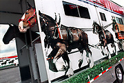 The Clydesdales wait unloading during the setup of the Bavarian Festival in Frankenmuth, Michigan.