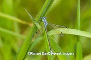 06032-001.10 Amber-winged Spreadwing (Lestes eurinus) male in wetland, Marion Co. IL