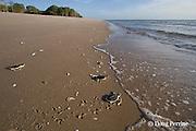 Australian flatback sea turtle hatchlings, Natator depressus , ( endemic to Australia & southern New Guninea ) crawl down nesting beach to ocean, Crab Island, off Cape York Peninsula, Torres Strait, Queensland, Australia