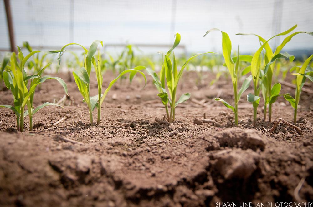 Organic corn stalks grow in the garden of a Master Gardener.