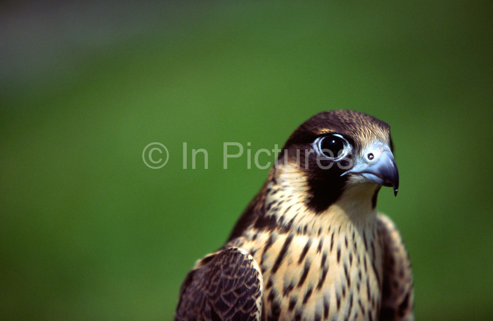 A Peregrine Falcon at Hunting Falcons International, part of International Wildlife Consultants (UK) Ltd. The group is a world leader in specialist breeding programmes for rare, wild birds of prey.
