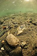 Chum Salmon Carcass in stream beed<br /> <br /> Paul Vecsei/Engbretson Underwater Photography