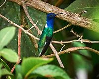White-necked Jacobin (Florisuga mellivora). Asa Wright Nature Centre, Trinidad, Image taken with a Nikon D3s camera and 70-300 mm VR lens.