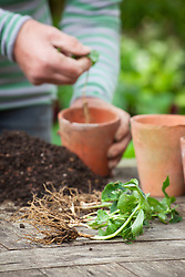 Using self sown seedlings. Separating self sown Trillium chloropetalum seedlings and potting them into individual pots