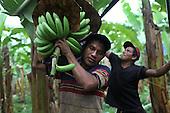 Panama: COOBANA Fairtrade Bananas