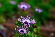 Osteospermum belongs to the plant family Compositae (Asteraceae) or Daisy family. The plant originates from South Africa and is therefore also known under the common names African Daisy, Spoon Daisy and Pink Whirls