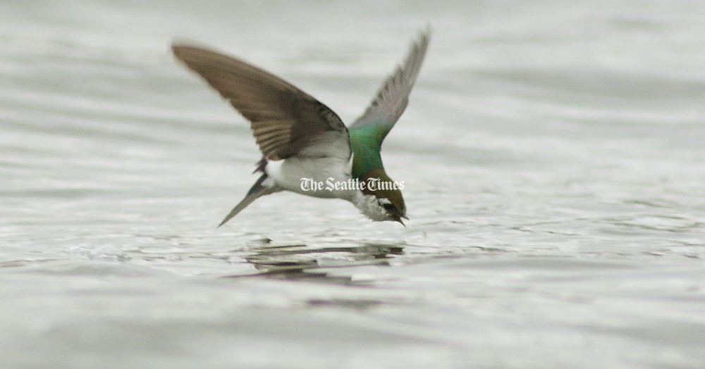 A Violet-green Swallow forages for insects at the surface of Lake Union. (Tom Reese / The Seattle Times)