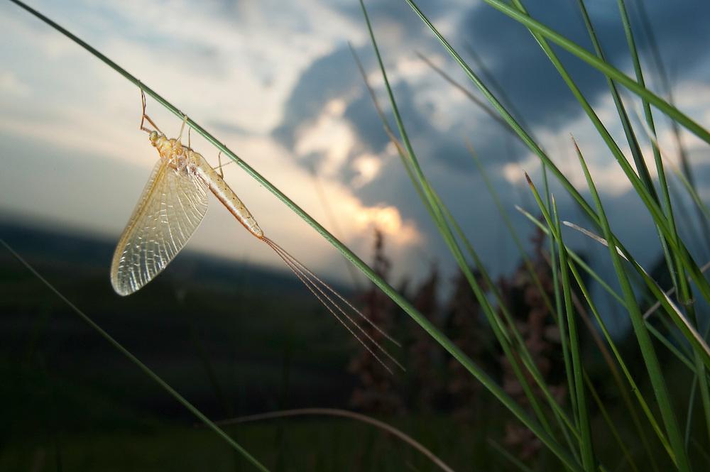 Mayfly sp. near near adurea Domnesca National park in Moldova