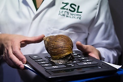 London, UK. 2 January, 2020. A keeper displays a giant African land snail during the annual stocktake at ZSL London Zoo. Every mammal, bird, reptile, fish and invertebrate is counted - a total of more than 500 different species - as part of an almost week-long audit required by the Zoo's licence, with the information recorded then shared with other zoos via the Species360 database.