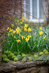 Narcissus 'Jetfire' AGM growing through Euphorbia myrsinites AGM - Broad-leaved glaucous spurge