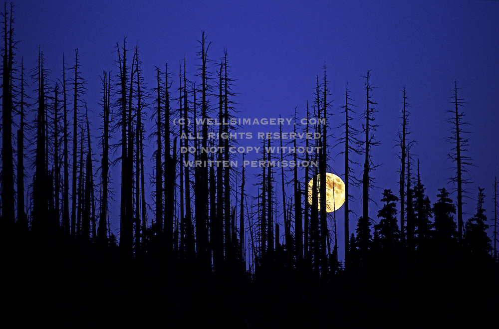 Image of burnt fir trees and a rising full moon at Mt. St. Helens National Volcanic Monument, Washington, Pacific Northwest by Randy Wells