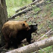 Black Bear, (Ursus americanus) Male cinnamon colored bear. Yellowstone National Park.