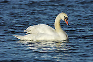 Mute Swan - Cygnus olor L 150-160cm. Large, distinctive water bird and a familiar sight. Swimming birds hold long neck in an elegant curve. Family groups are a feature of lowland lakes in spring. Typically tolerant of people. In flight, shallow, powerful wingbeats produce and characteristic, throbbing whine. Sexes are similar but bill's basal knob is largest in males. Adult has white plumage although crown may have orange-buff suffusion. Bill is orange-red with black base. Juvenile has grubby grey-brown plumage and dull pinkish grey bill. Voice Mostly silent. Status Our commonest swan; the only resident species. Found on freshwater habitats besides which it nests; in winter, also on sheltered coasts.